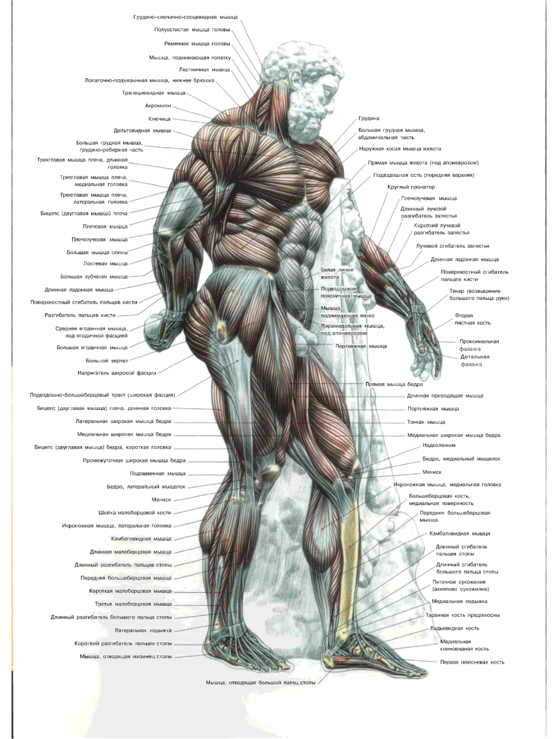 muscle_names