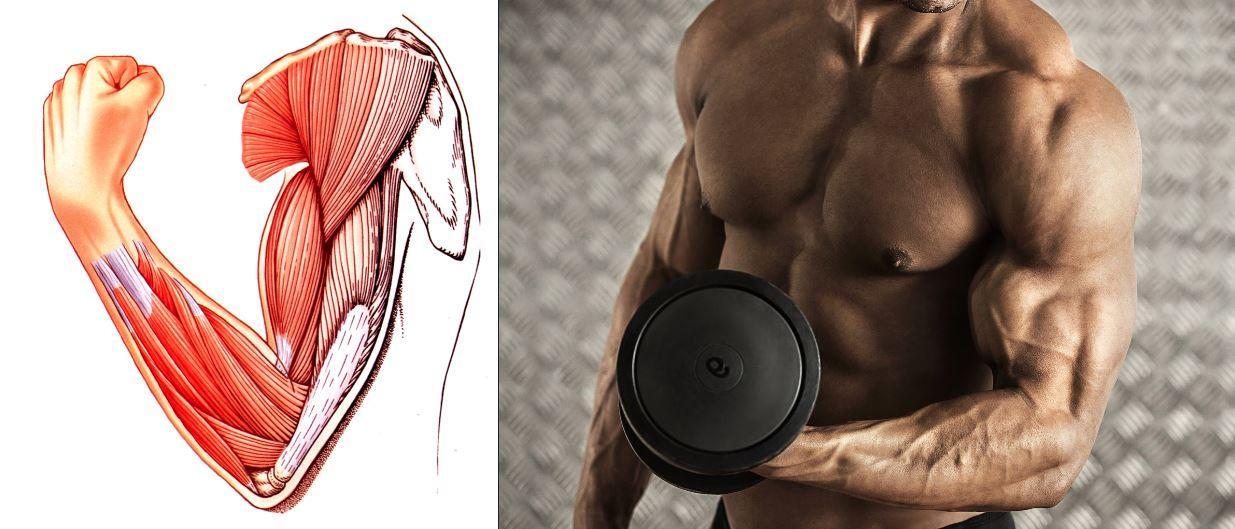 Рост мышц. Что такое мышца, и как она «растет»