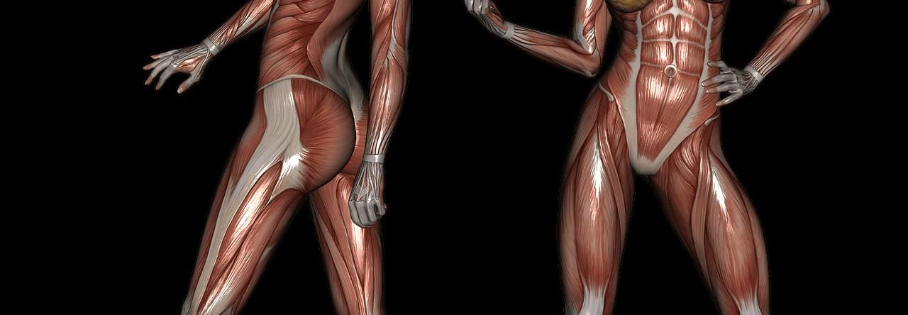 Женские мышцы.